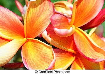 Frangipanis - Lovely tropical pink and orange frangipani...
