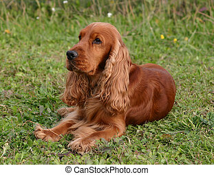spaniel cocker - purebreed english cocker down