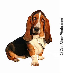 detoured basset  - pure breed basset hound detoured