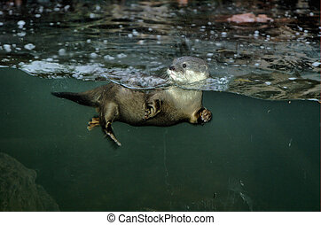 Otter 2 - Swimming Otter