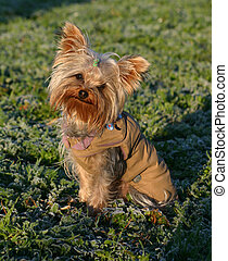 yorkshire and coat - purebreed yorkshire terrier and coat