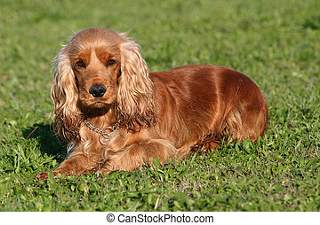 cute cocker - pure breed cocker spaniel down
