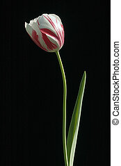Single Tulip with red and white bloom