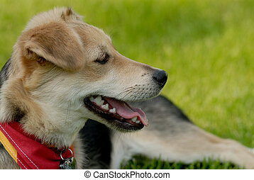 Happy dog - Picture of dog lying on the grass
