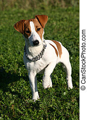 puppy jack russel - puppy purebreed jack russel terrier