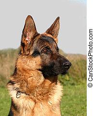 profil german dog - purebreed german shepherd