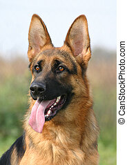 profil alsatian dog - purebreed german shepherd