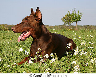 brown doberman - purebreed braown doberman in the grass