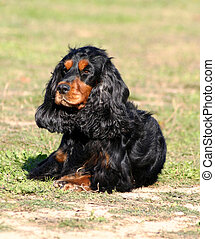 hunting cocker - purebreed cocker english spaniel