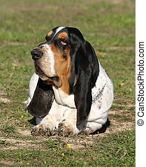 basset tired - purebreed passet hound down