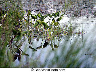 Blossoming Bog - Bog with plants and reflections