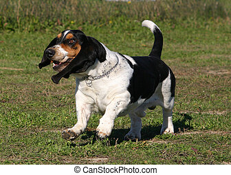 happyness basset - running purebreed basset hound