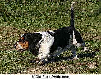 speedy basset - running purebreed basset hound