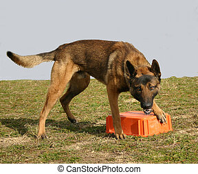 guarding dog - purebreed belgian shepherd and his object