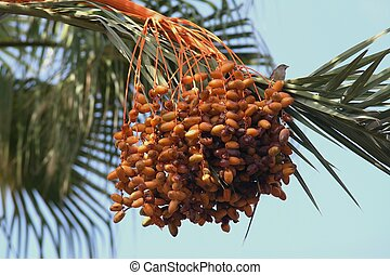 Palm fruits - Tropical date fruit unripe