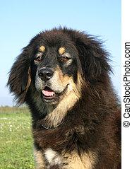 tibetan dog - purebreed mastiff tibetan dog