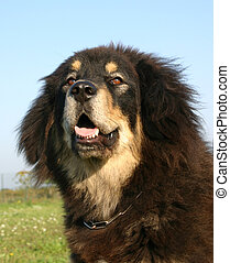 tibetan mastiff - purebreed mastiff tibetan dog