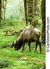 Rainforest habitat - Roosevelt elk in Olympic national park,...