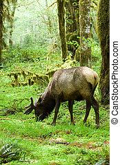 Rainforest habitat - Roosevelt elk in Olympic national park,...