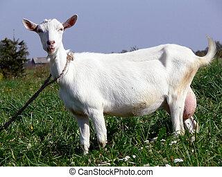 Goat portrait - Home goat portrait on Lithuanian landscape