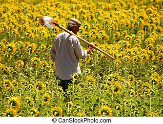 Farmer in sunflower field in Turkey