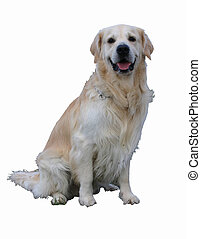 golden detoured - detoured purebreed golden retriever