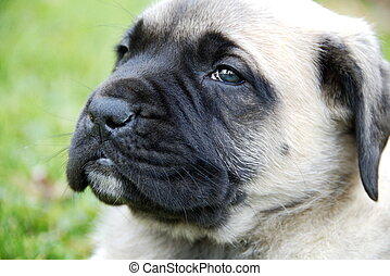 English Mastiff Pup - a portrait of a very young English...