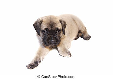 English Mastiff - a very young fawn colored English Mastiff...