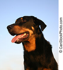 french beauceron - purebreed french beauce shepherd