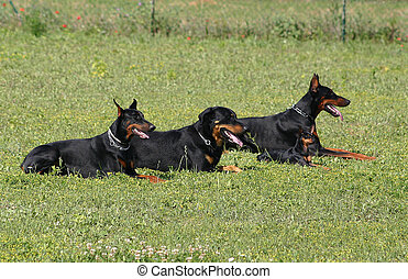 doberman, beauceron