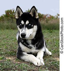 puppy husky - puppy purebreed siberian husky