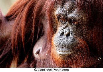Orangutan - Close-up of female orangutan