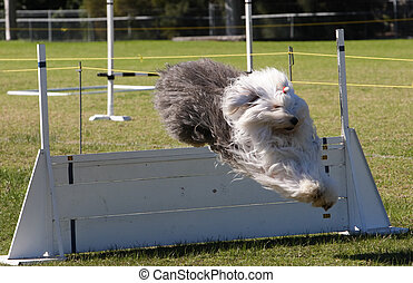 Dog Trials - Sheep dog jumping a barrier