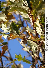 Oak tree & acorn - The Bur Oak (Quercus macrocarpa),...