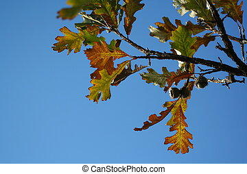 Oak tree and acorn - The Bur Oak Quercus macrocarpa,...
