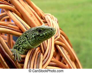 Lizard in crib - Journey of the lizard in woven basket