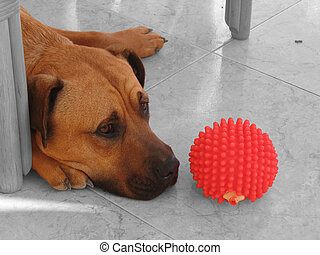 Dog & Red Ball Toy - This is a photograph of a Bull Mastif...