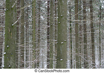 Dense pine forest in winter