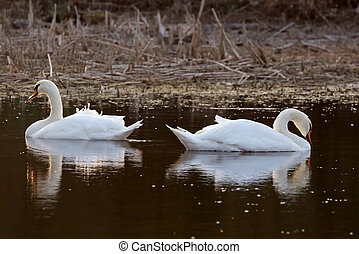 Two swans on lake in the evening