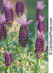 Flowering Lavendar - Sugarberry Ruffles - Lavender is a...