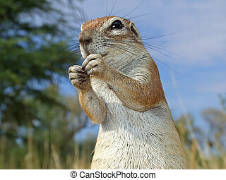 Ground squirrel - Close-up of a inquisitive ground squirrel...