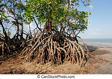 Mangrove tree - Mangrove tree at low tide, Vilanculos...