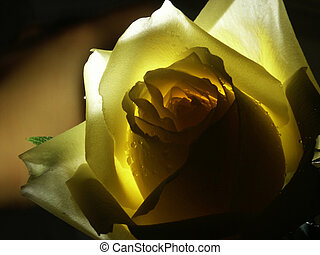 yellow rose - Close-up of yellow rose with dark background....