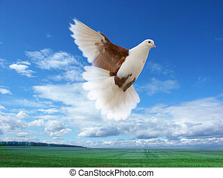 flying pigeon - White-brown pigeon flying over green field...