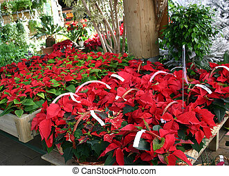 plants in seedbed - poinsettia in store