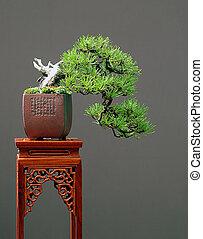 mugo pine cascade bonsai - mugo0 pine, Pinus mugo, 22 cm...