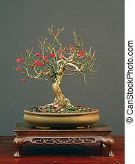 Euonymus bonsai in winter - European euonymus, Euonymus...