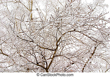 snowy trees - Thin birch branches with snow. White winter...