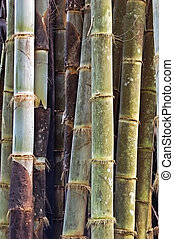 Bamboo stems - A grove of bamboo in a Thai forest