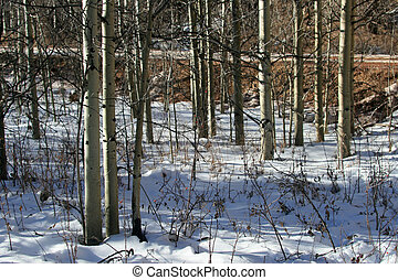 Aspen Shadows - Aspen grove in snow with late afternoon...